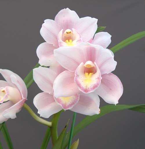 Orchid Flowers Cymbidium Great Flower Ballerina Proper Watering And Fertilizing Is Necessary To Introduce To Flowe Orchid Flower Beautiful Flowers Orchids