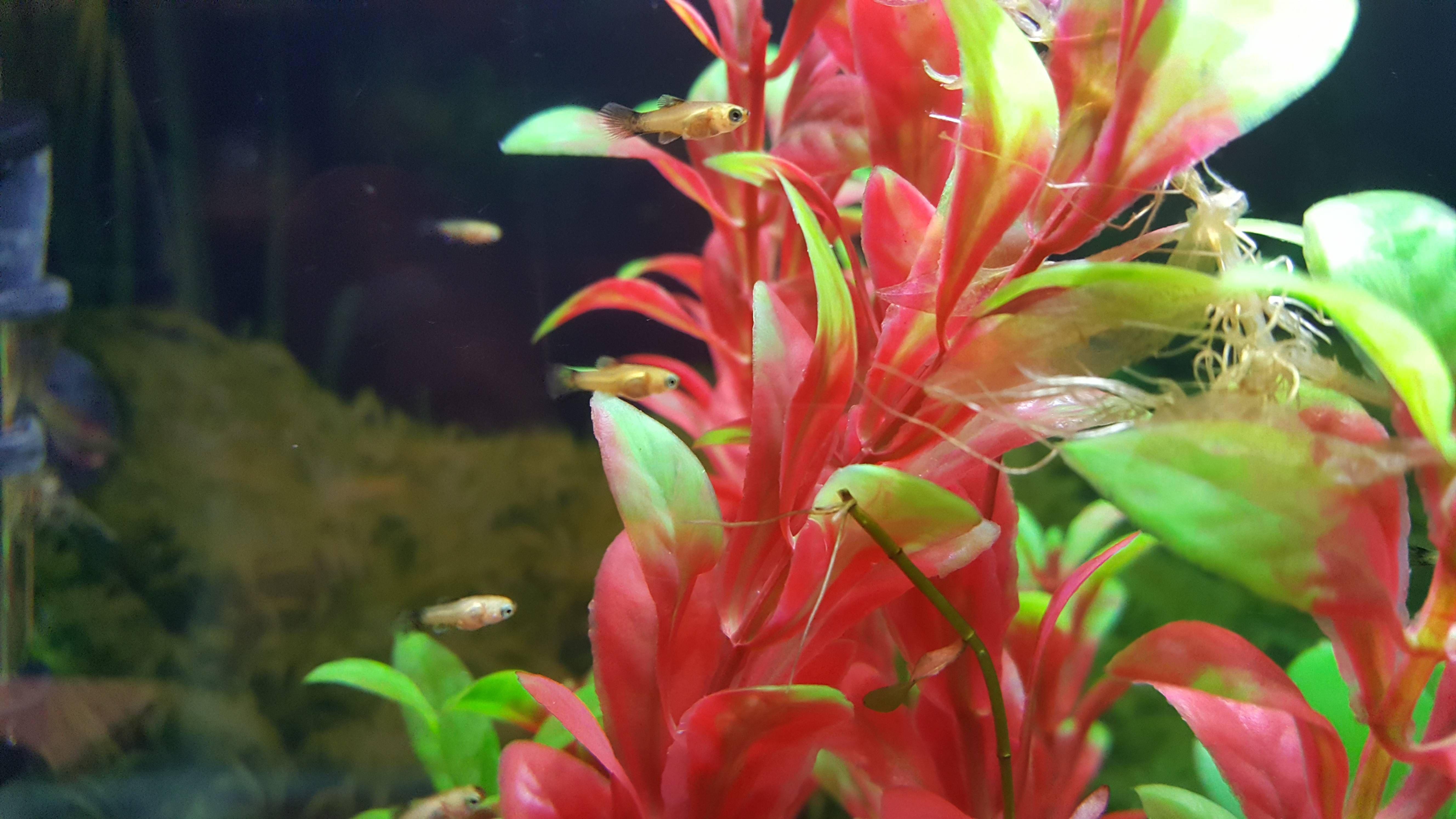 My adorable sunburst platy fry. | Aquariums | Pinterest | Aquariums