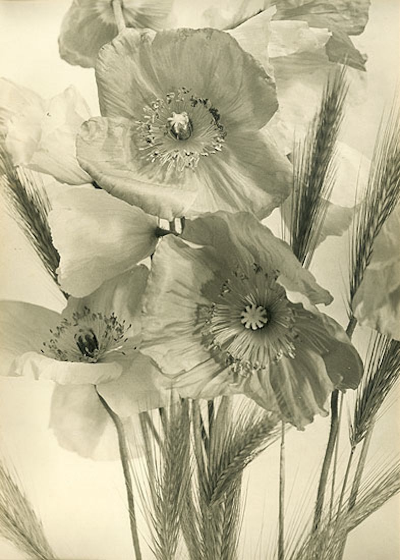 Poppies and wheat stalks s jeanmarie auradon flowers and