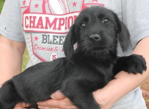 Meet Zeta 22055 A Petfinder Adoptable Dachshund Dog Prattville