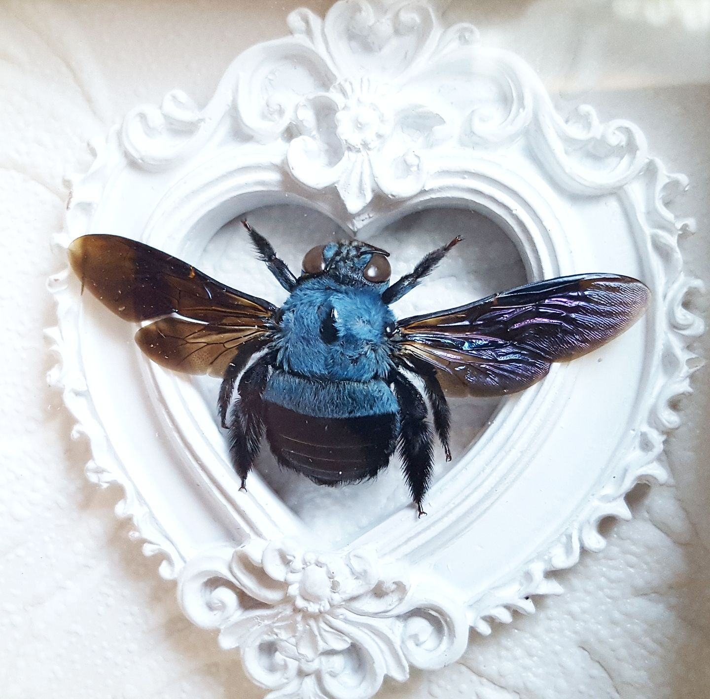 Blue Carpenter Bee Xylocopa caerulea Female Spread Real Insect Taxidermy