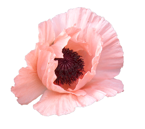 Http Www Cltextures Com Texture Images 6 Masked Pink Poppy Flower Texture Image 1 1420 Png Flower Texture Poppy Flower Flowers