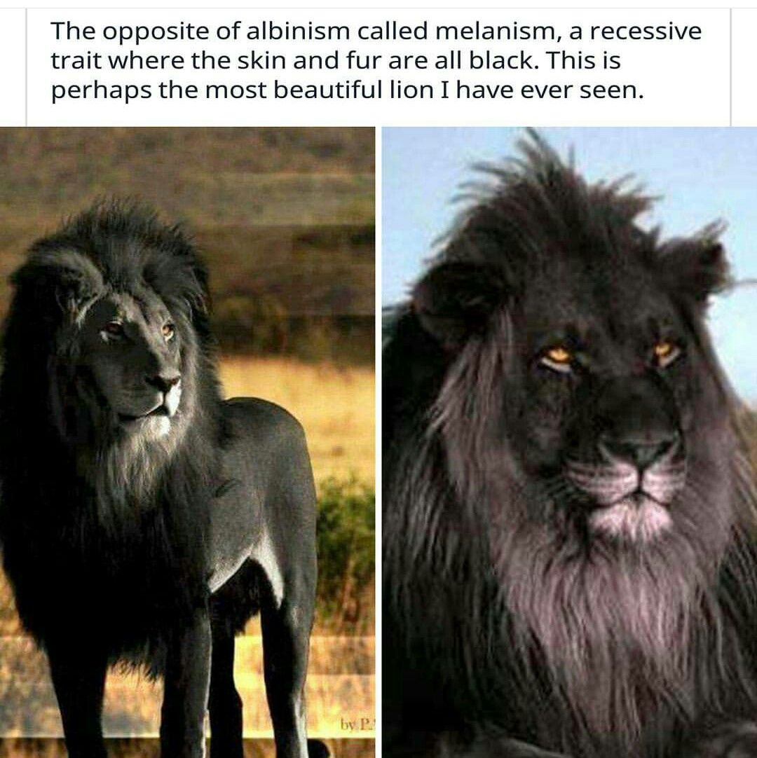 Pin By Lana On R A N D O M Beautiful Lion Melanism My Black Is Beautiful