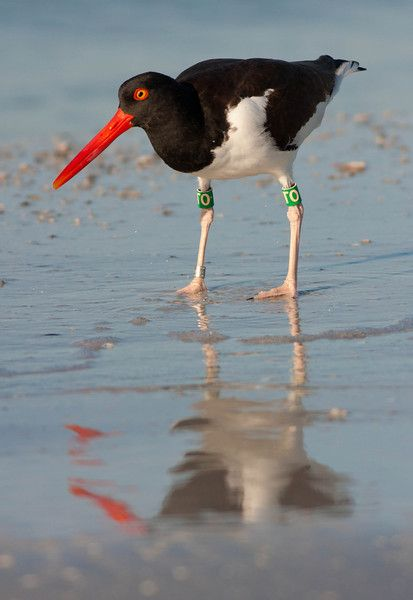 """""""A conspicuous shore bird, the America oystercatcher is often heard before it is seen. Its loud, shrill call directs the eye over the bare lava to handsome black and white bird with a striking orange bill."""" Galápagos Wildlife www.bradtguides.com"""