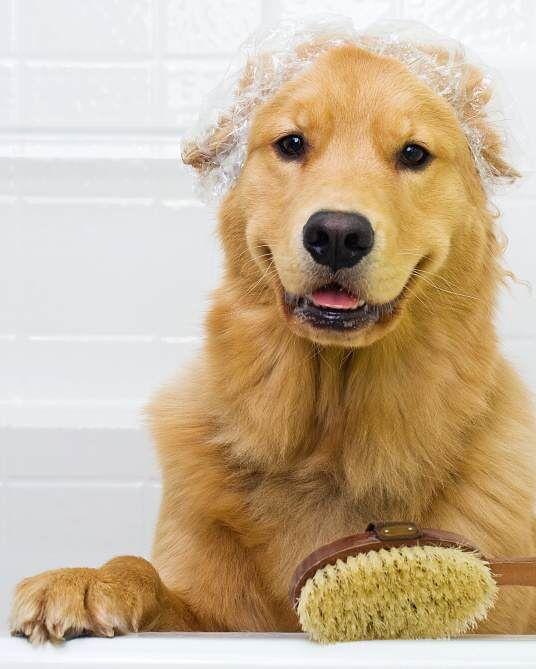 7 Tips To Reduce Golden Retriever Shedding Golden Retriever