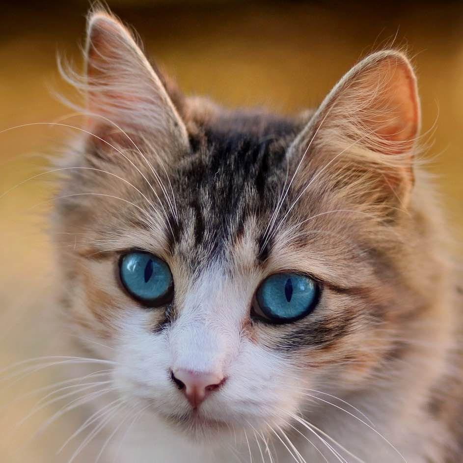 How To Become A Purr Fect First Time Cat Owner Pettrax Adoptdontshop First Time Cat Owner Beautiful Cats Fluffy Kittens