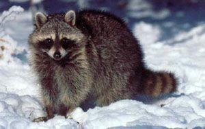 Raccoon photo by Bob Gress