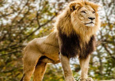 أجمل صور أسود مفترسة ومتوحشة جديده 2017 عالم الصور Male Lion Lions Photos Animals