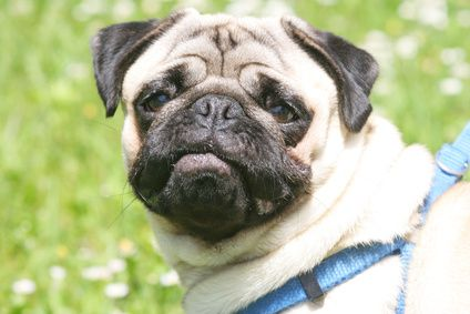Should Pugs Wear A Harness Or A Collar Pugs Pug Puppies Pug