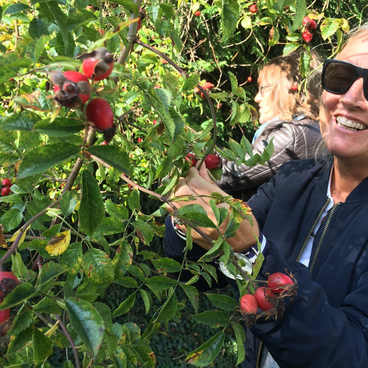"Amanda Saurin on Twitter: ""Rosehip picking to make our own oil - the closer you are to the plant, the better the product #pureplantpower #asapothyear https://t.co/GdnjGW4hGH"""