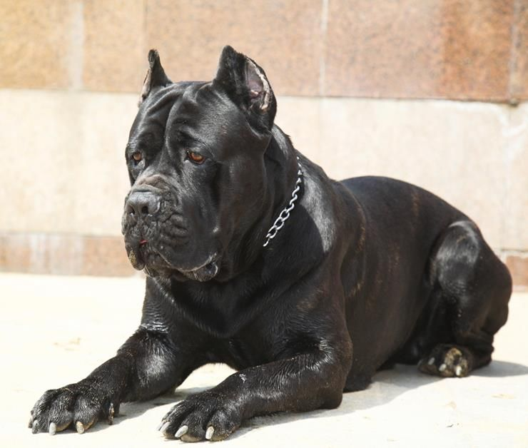 24 Of The Most Expensive Dog Breeds In The World Cane Corso Dog Cane Corso Black Cane Corso