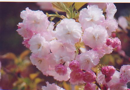 Anime World Bunga Sakura Bunga Sakura Bunga Sakura