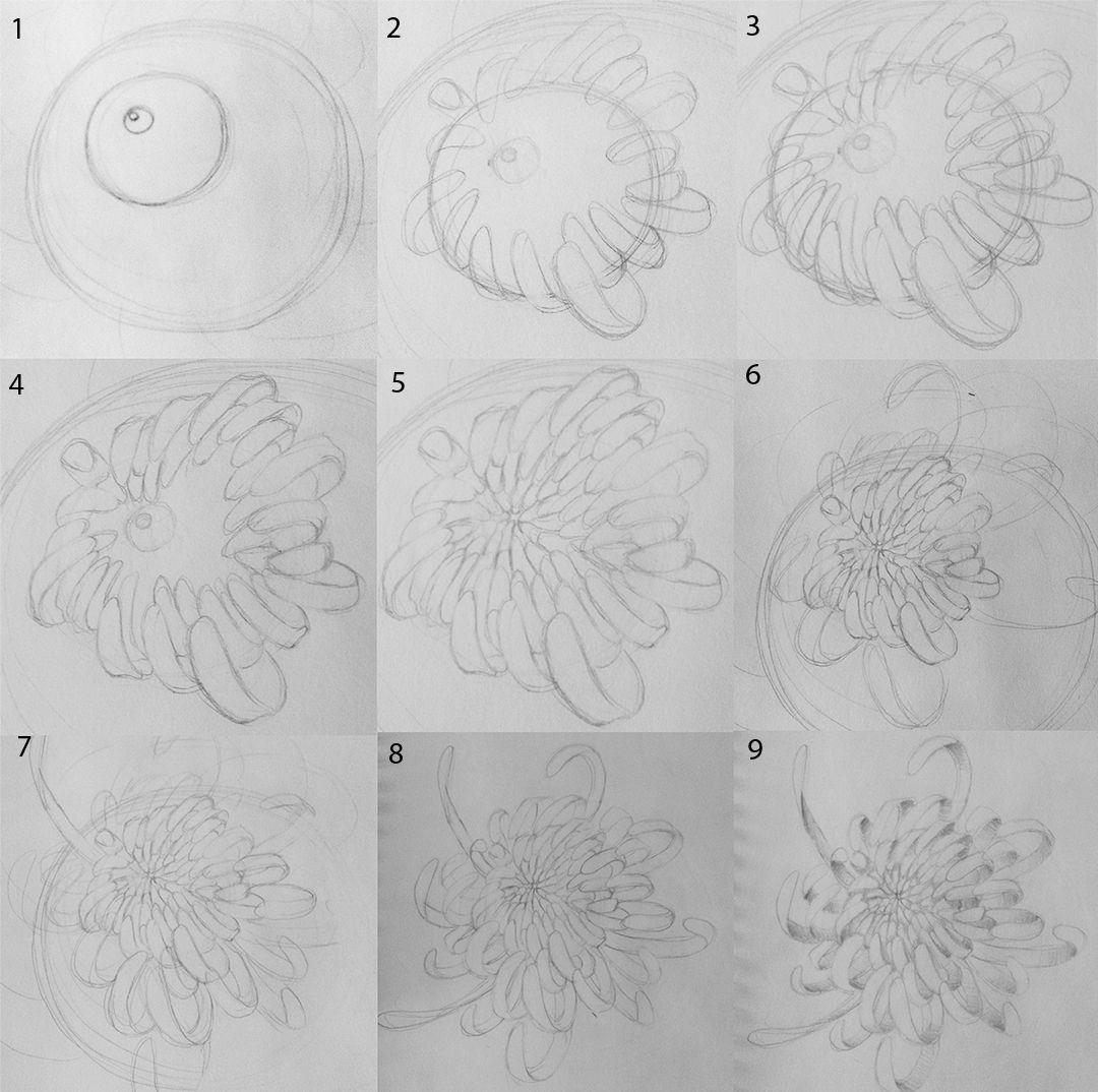 Mandy Jw Art And Design How To Draw A Chrysanthemum Flower Drawing Flower Drawing Tutorials Chrysanthemum Drawing