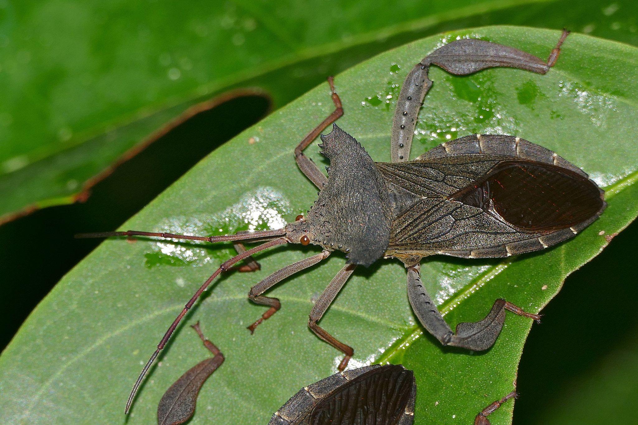 Giant Squash Bug (Prionolomia sp.) Squash bugs, Shield