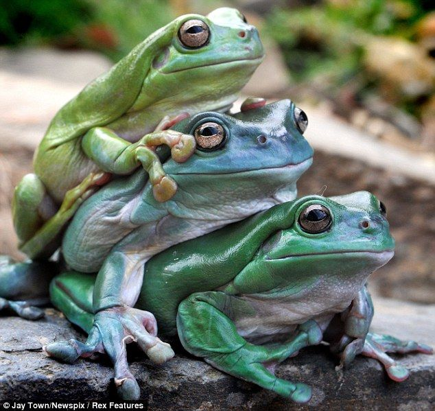 Jumping on the bandwagon: Two lazy tree frogs hop on to the back of a friend for a lift | Mail Online