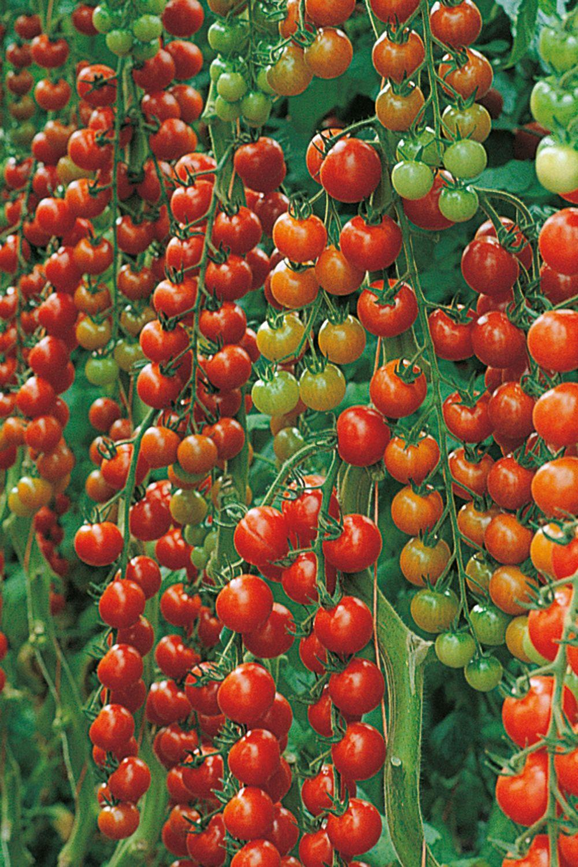 Cherrytomate Sanvitos F1 Favorita Veredelt In 2020 Tomaten Pflanzen Gemuse Pflanzen Pflanzen
