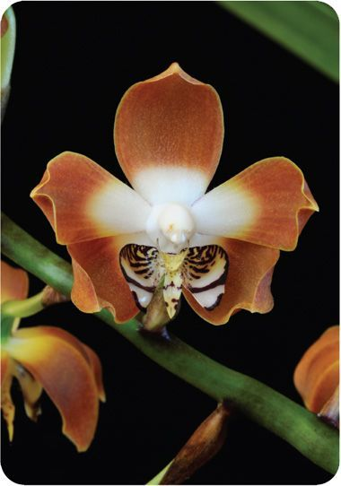 Orchid Photo Cards - Living Tree Orchid Essences