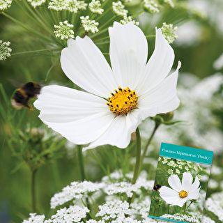 Pale Cosmos Collection Cosmos Flowers Flower Seedlings White Gardens