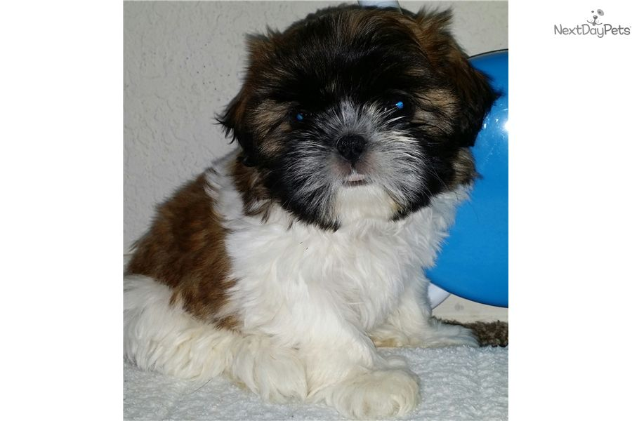 Beautiful Tri Color Female Shih Tzu For Sale Puppies For Sale Shih Tzu Puppy