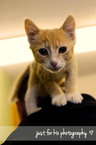 Tiger is an adoptable Tabby - Orange Cat in #Calgary, #ALBERTA Tiger was rescued at a recent spay and neuter clinic in a rural area.  This delightful l ... ...Read more about me on @Petfinder.com.com.com.com.com.com