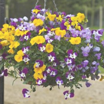 Ideal for hanging baskets! 100 SEEDS BIENNIAL FLOWER VIOLA CORNUTA MIX