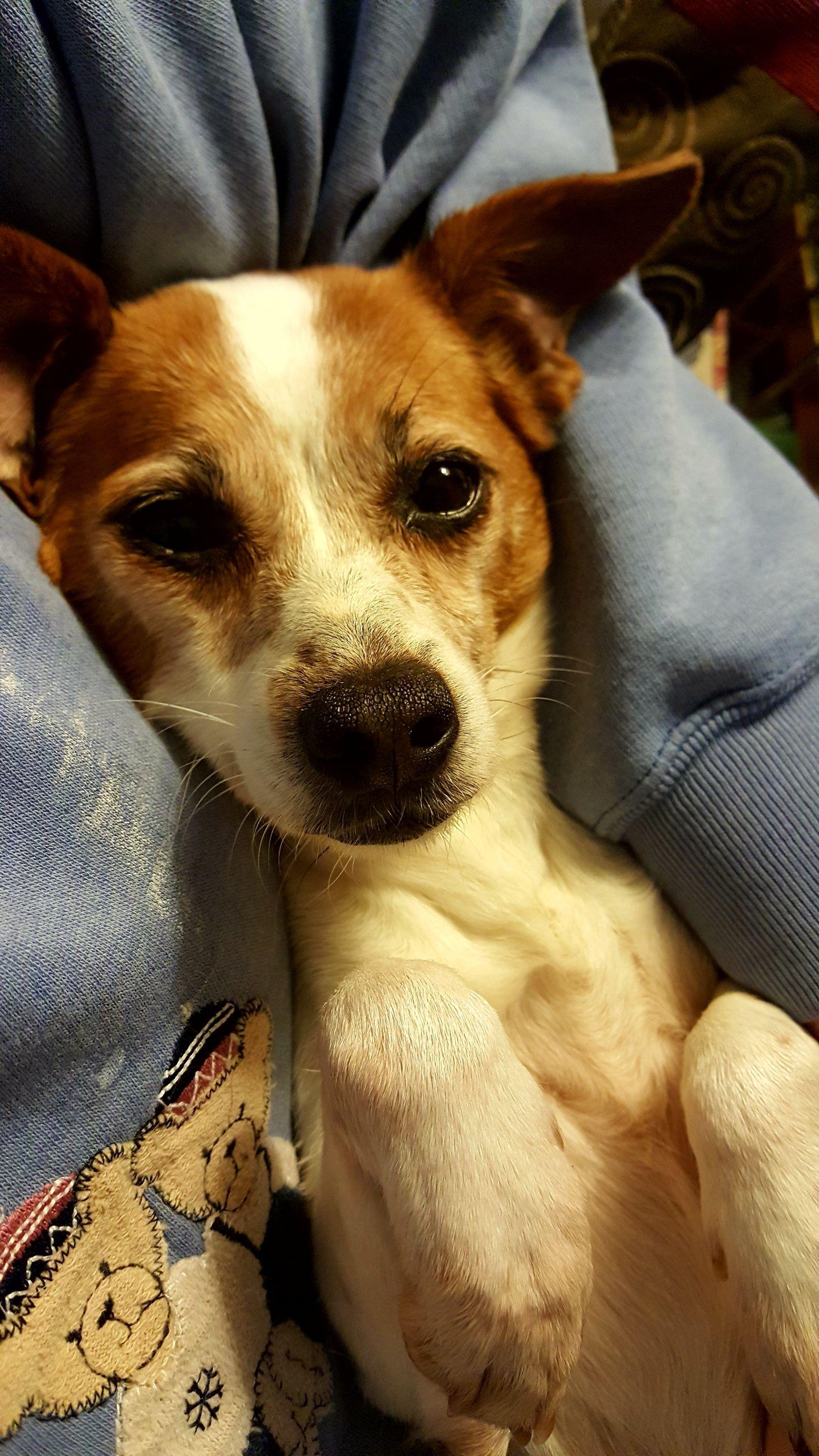 Jack Rat Terrier Dog For Adoption In Nashville Tn Adn 772744 On Puppyfinder Com Gender Female Age Rat Terrier Dogs Rat Terriers Terrier Dogs