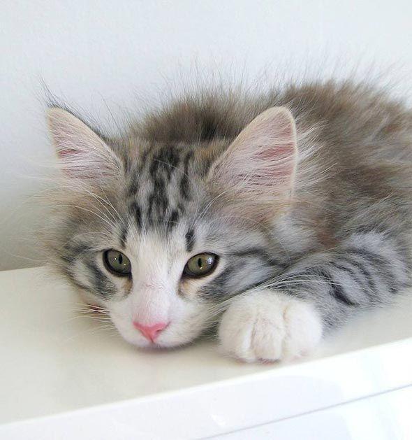 Leon [redux] Norwegian Forest Cat kitten