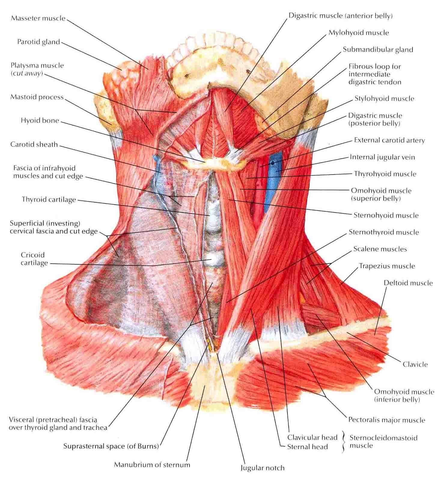 Muscles of Neck-Anterior View | Pinterest | Muscles, Anatomy and ...