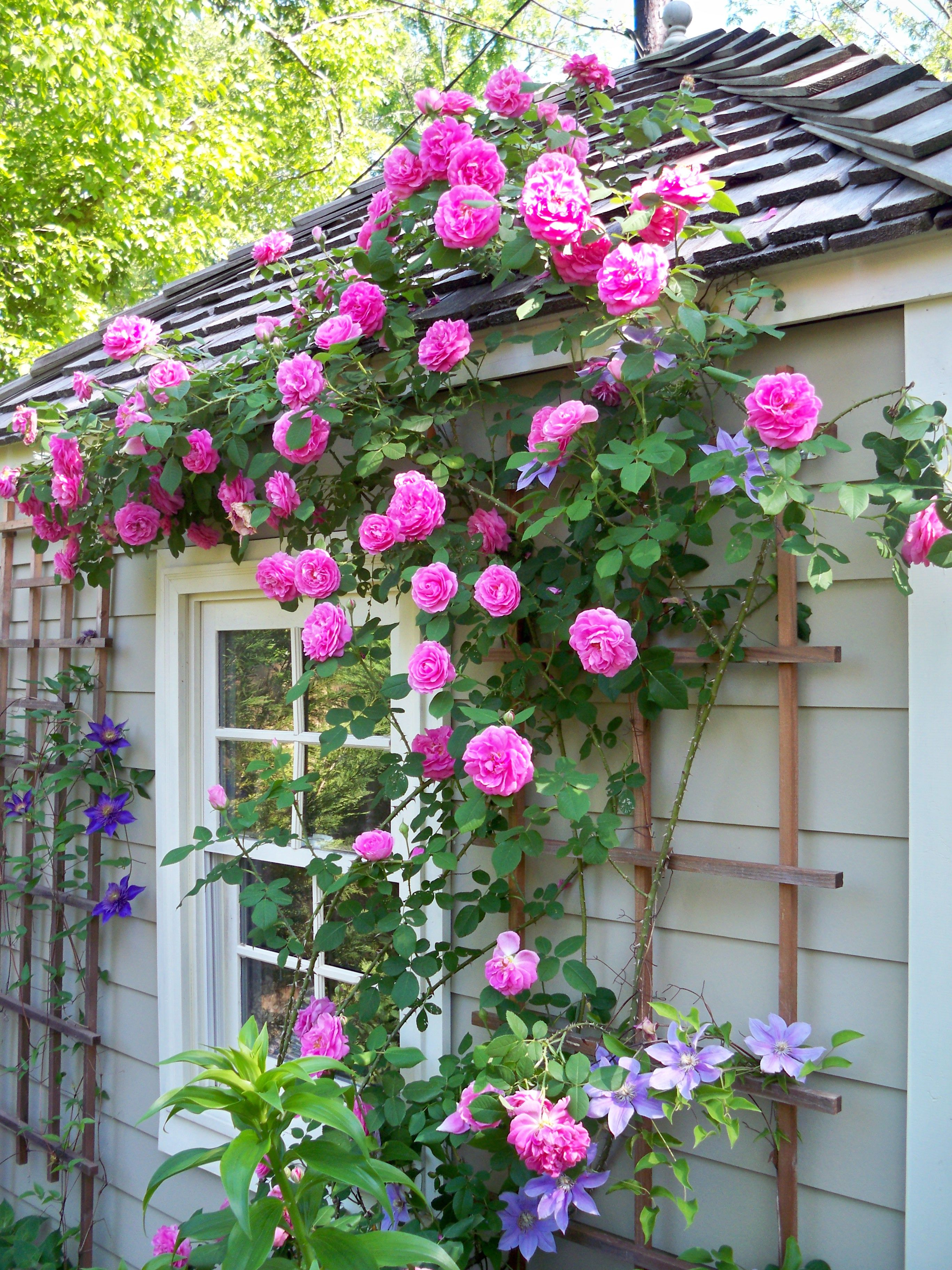 Gertrude jekyll roses and clematis climbing up the garden house gertrude jekyll roses and clematis climbing up the garden house mightylinksfo