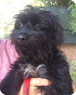 Pictures of Goofy a Havanese/Terrier (Unknown Type, Small) Mix for adoption in Encino, CA who needs a loving home.