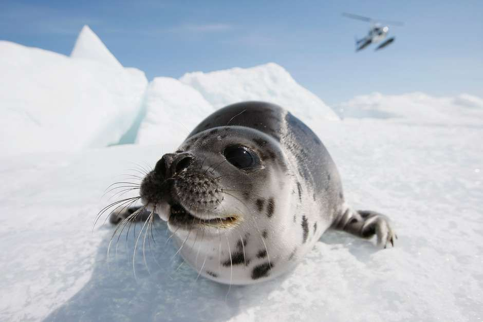 Foca-da-Groenlândia.