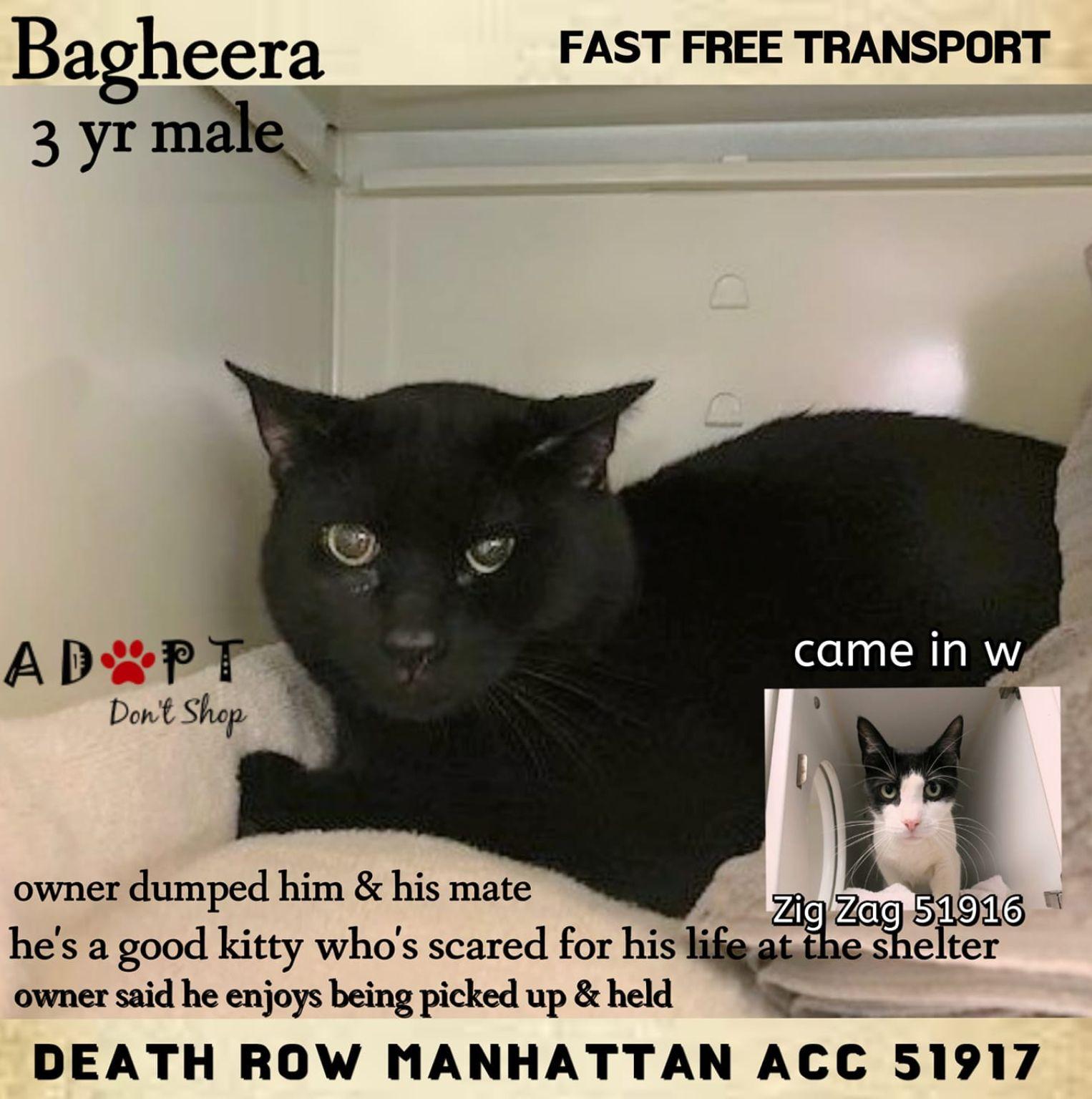 Bagheera Safe 01 14 19 To Die 01 14 19 Cats Foster Cat Cat Adoption