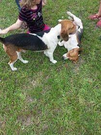 Lostdogs Jacksonville Fl Ricker Rd Two Male Beagles 904 655