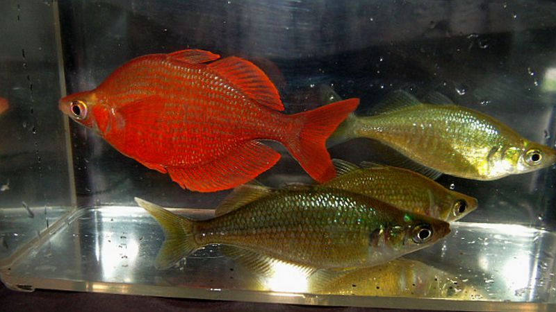 Image Result For Millenium Rainbow Fish Female Images Peces Australianos