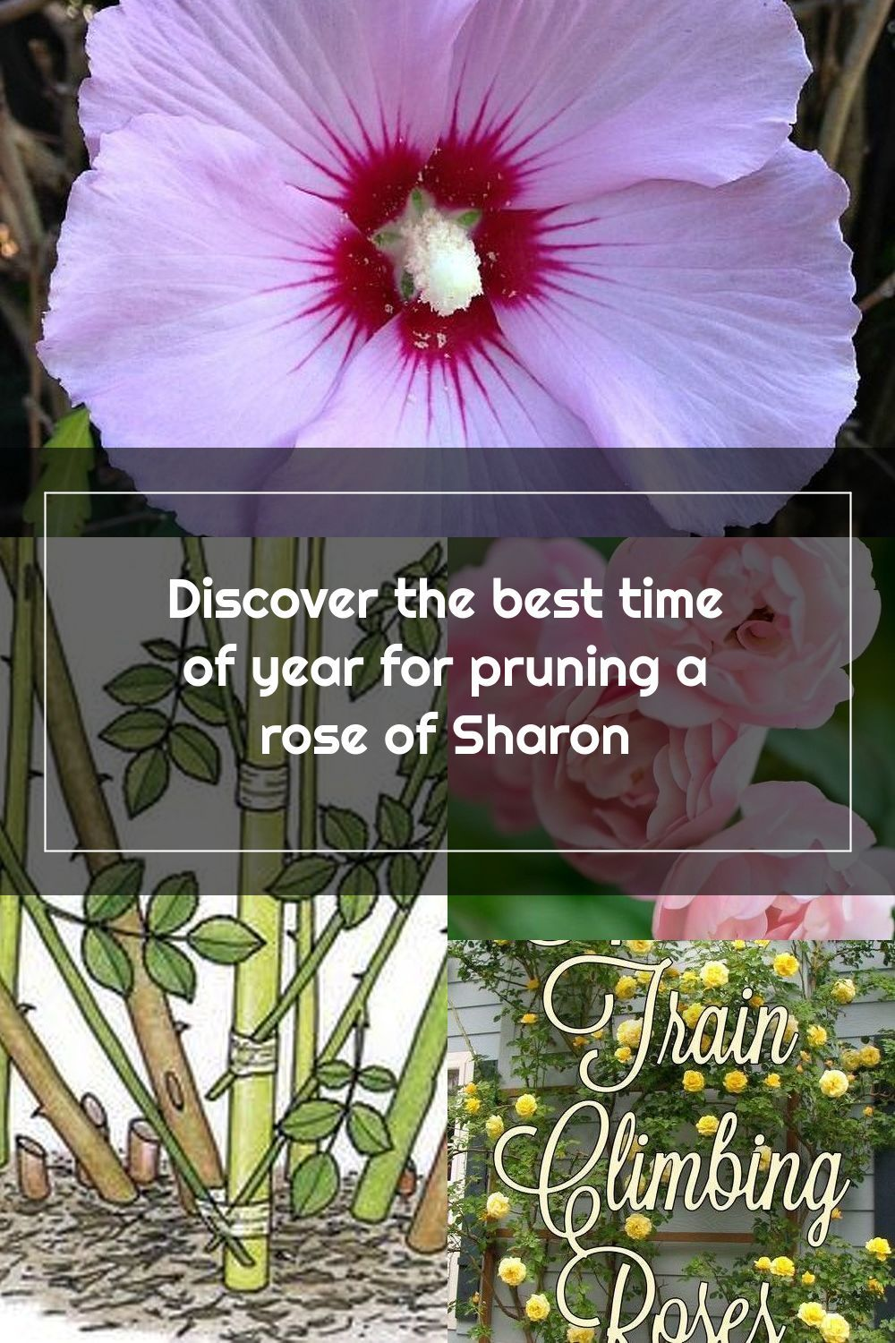 Is Your Rose Of Sharon Not Blooming As Well Is The Plant Overgrown Our Ti
