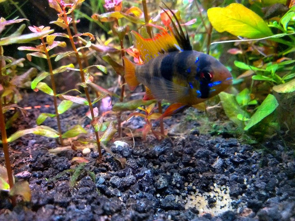 German Blue Ram Hydra Forum Hydraforum Com Planted Aquarium Fish Pet Fresh Water
