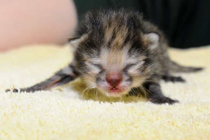 Meep Meep I Am A Baby Black Footed Kitten Cute Little Animals Cute Animals Black Footed Cat