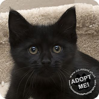 Adopted  I found a new home! Domestic Shorthair Kitten for adoption in Troy, Ohio - Jane