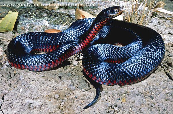 Red Bellied Black Snake Pseudechis Porphyriacus Australian Native Animals Snake Reptile Snakes