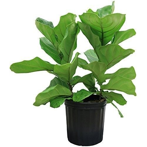 Delray Plants Ficus Pandurata Bush in Pot 8-3/4