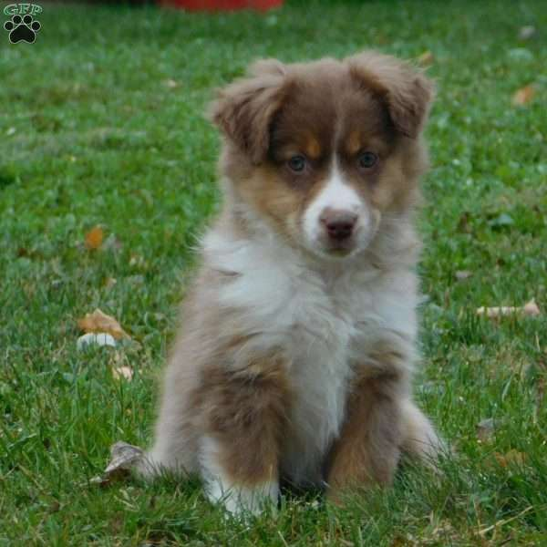 Francis Miniature Australian Shepherd Puppy For Sale In Ohio Miniature Australian Shepherd Puppies Australian Shepherd Puppy Miniature Australian Shepherd