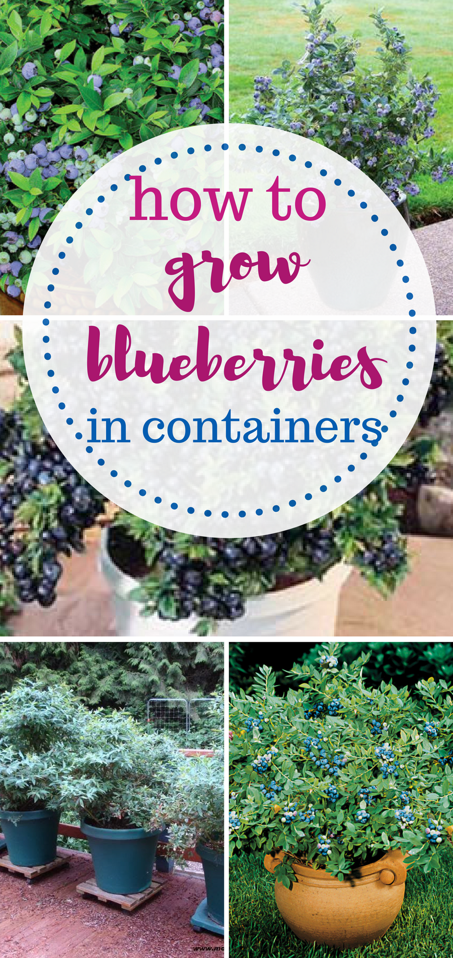 How to grow blueberries in containers AND Indoors! Container ...