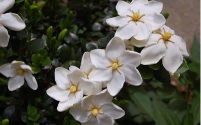 Daisy Hardy Gardenia My Patio Smells Wonderful Plants Garden
