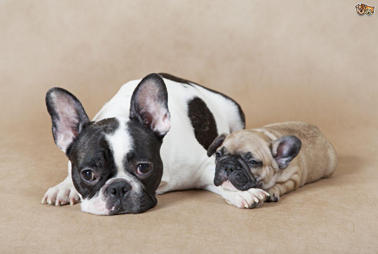 Vital Needs Of A French Bulldog Checklist Fawn French Bulldog
