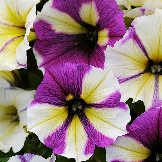 The Best New Annuals For 2014 Annual Flowers Petunia Plant Petunias