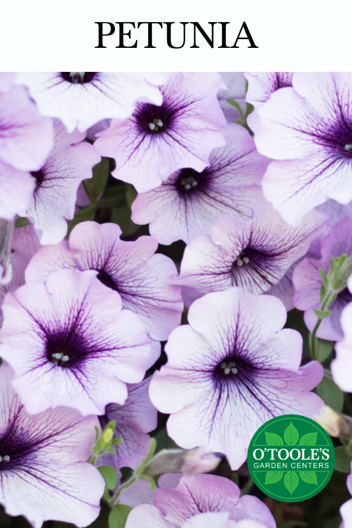 Petunia Flowers In 2020 Seasonal Flowers Annual Garden Petunias