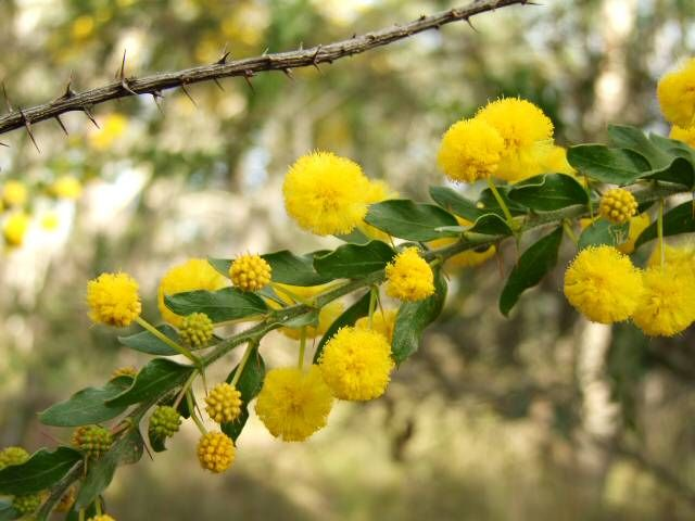 Acacia Paradoxa Fabaceae Hedge Wattle Australian Evergreen Spreading Shrub With Very Spiny Stipules And Fluf Drought Tolerant Plants Shrubs Native Garden