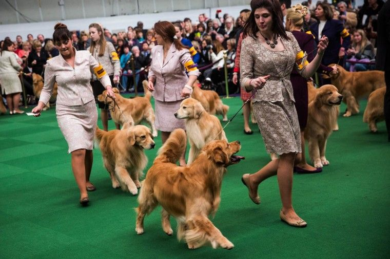 Dogs Take The Stage At The 138th Westminster Kennel Club Dog Show
