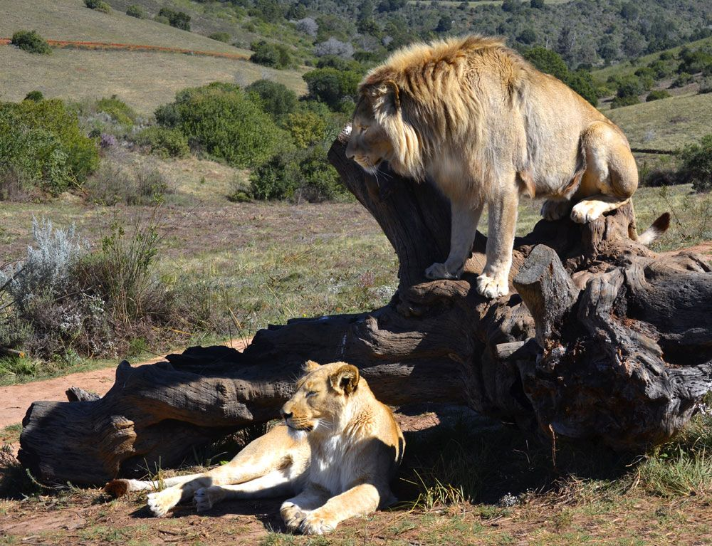 Campaign Against Canned Hunting (CACH) Home Lion
