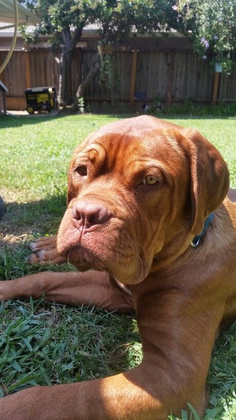 What Are You Lookin At Dogue De Bordeaux French Mastiff Mastiffs